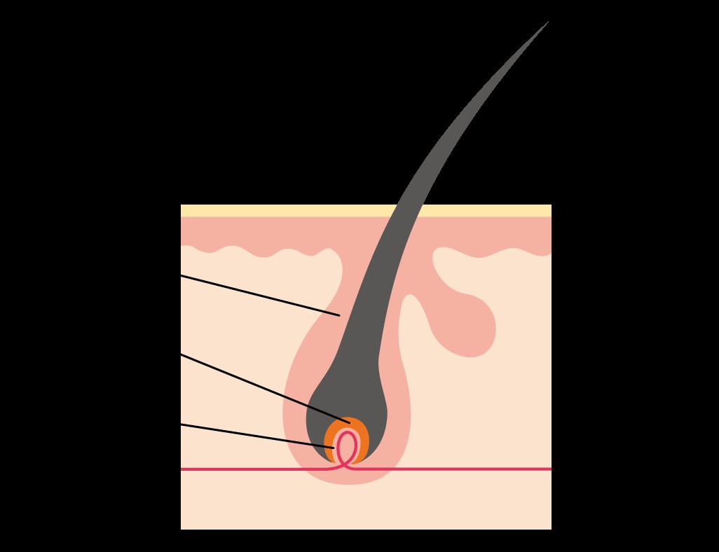 皮膚組織の解説画像